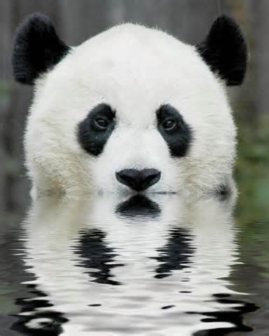 Știți unde locuiește panda?