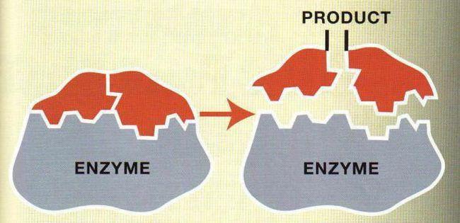 Proprietățile centrului enzimatic activ