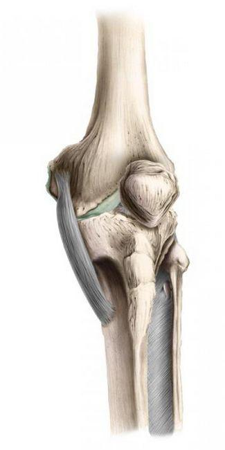 Anatomia articulației genunchiului de gâscă