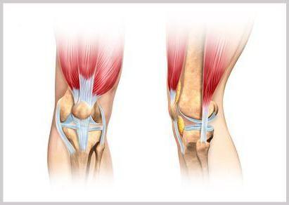anatomia articulației genunchiului