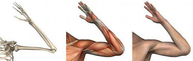 anatomia articulației cotului