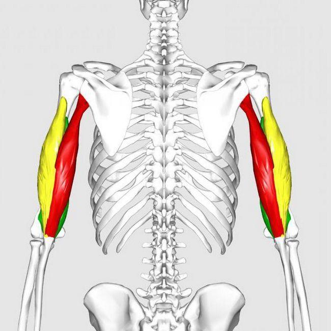 furnizarea de sânge a anatomiei articulației cotului