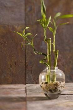 bambus de îngrijire la domiciliu