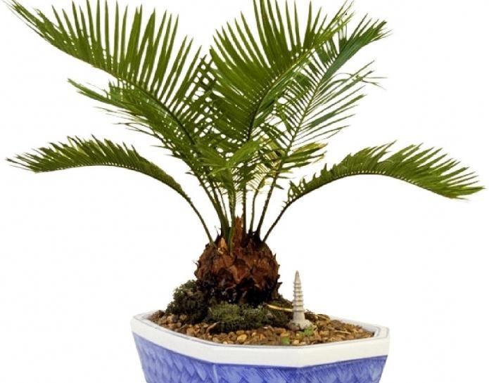 bambus palmier