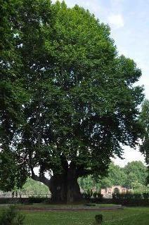 Chinar - peștera de copaci