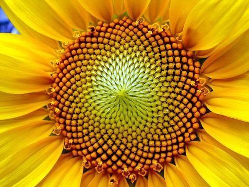 Semințe de floarea-soarelui