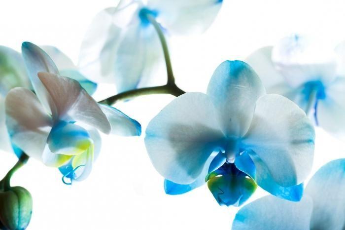 cum să tăiați o orhidee decolorată