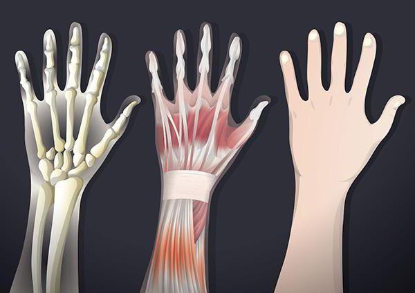 scheletul extremității superioare