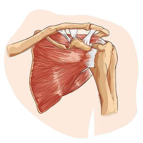 mușchii membrelor superioare