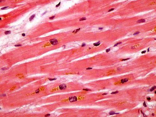 celule ale țesutului muscular neted