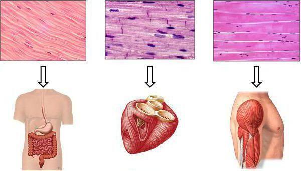 funcția de țesut muscular