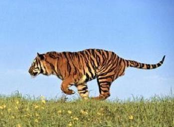 În cazul în care trăiesc tigrii, mulți încă nu știu