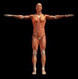 țesutul muscular striat încrucișat