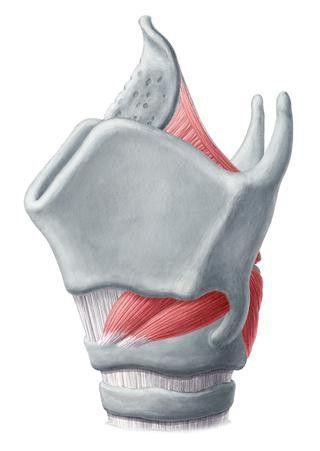 cartilajul laringelui