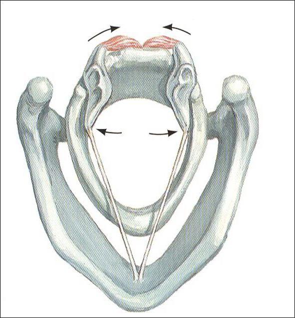 cartilagiile asociate laringelui