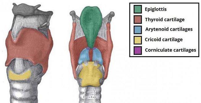 cartilajul aritenoid al laringelui