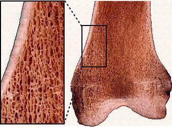 строение губчатой кости