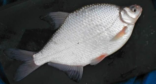 Gustare - pește de apă dulce