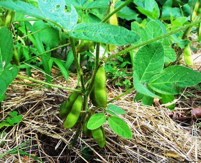 Plante din familia Bean