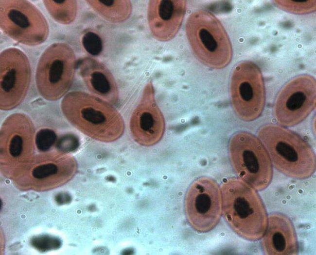 structura broaștelor roșii