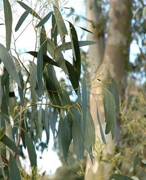 eucalipt proprietăți medicinale
