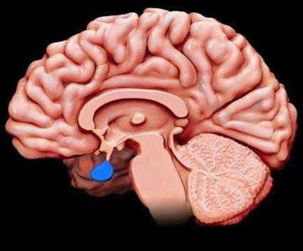 Glandele secreției interne includ glanda hipofizară
