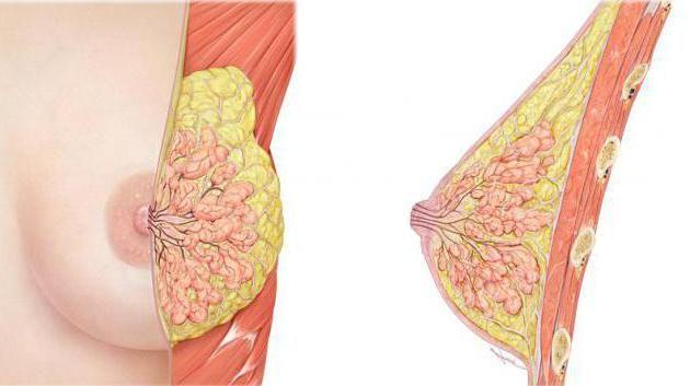 Glandele de secreție internă includ glandele mamare