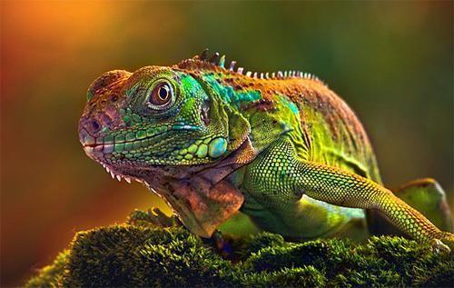 Cum schimbă chameleonul culoarea și de ce depinde?