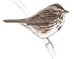 Cum de a desena o vrabie