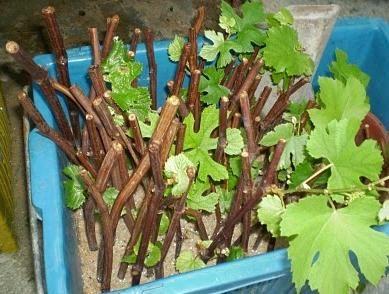 как сохранить черенки винограда до весны