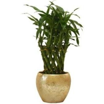 cum să aibă grijă de bambusul interior