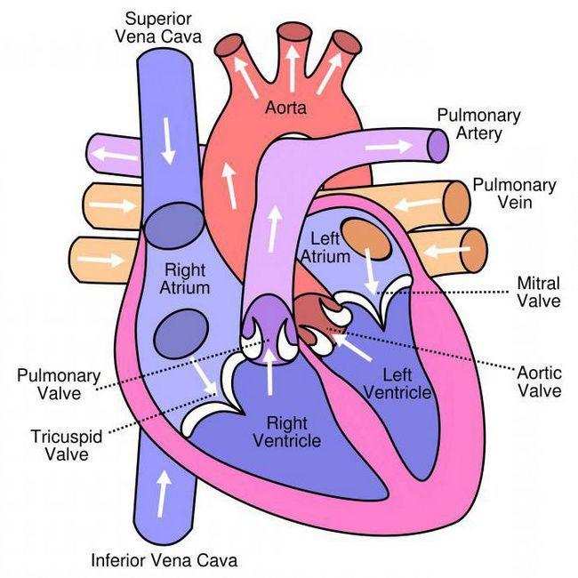 din care organe sistemul circulator al omului