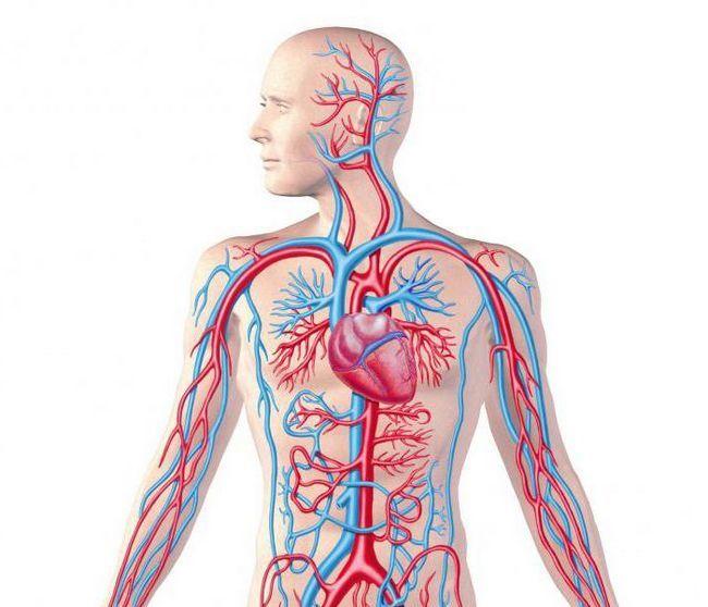 din care organe este compus sistemul circulator