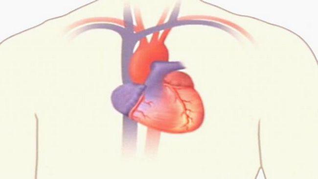 organul principal al sistemului circulator al omului