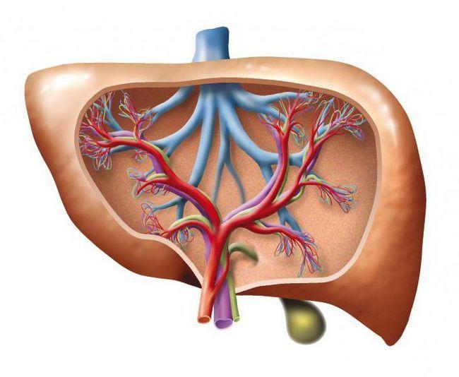organe auxiliare ale sistemului circulator
