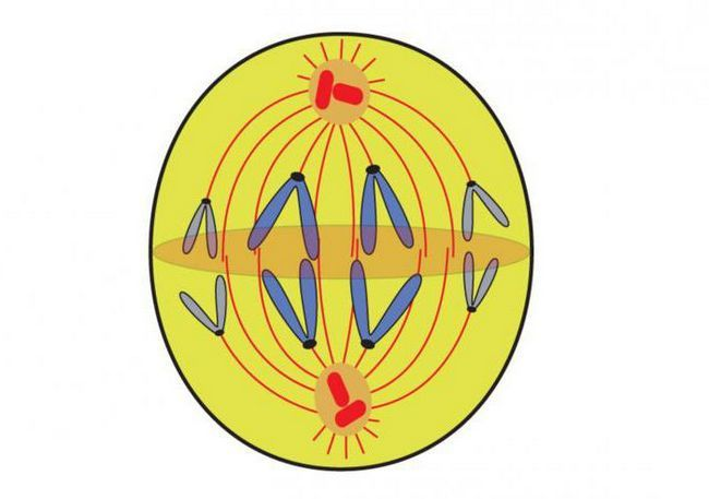 câte celule se formează ca rezultat al mitozei