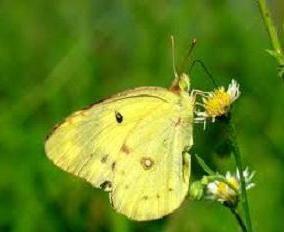 Ce arata un fluture de lemongrass? Fascinant!