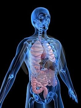 Aranjarea organelor la om