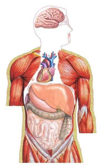 Aranjament orizontal al organelor