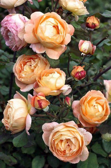 Cum sa cresti un trandafir de la un buchet acasa?