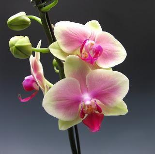 cum să faci o floare de orhidee în mod repetat