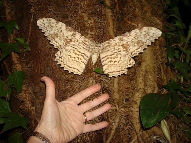Care este cel mai mare fluture din lume?