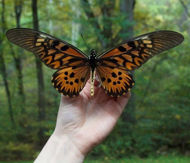 Antimachus cu barci (Papilio antimachus)