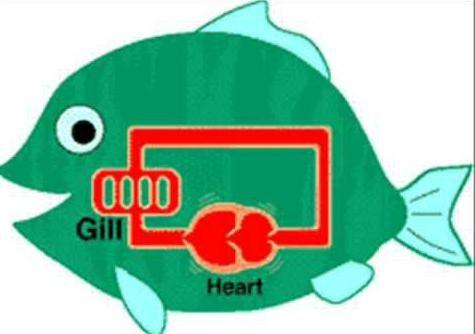 cu două inimi și un sistem circulator