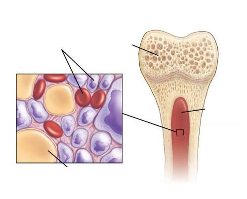 Speranța de viață a trombocitelor umane
