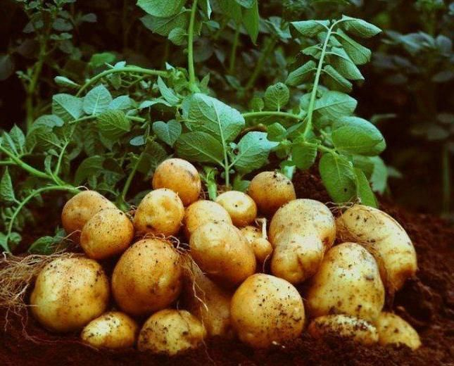 cartofi de Elizabeth