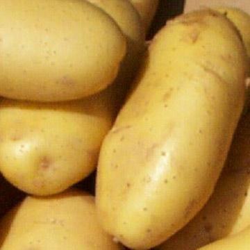 cartofi gala descrierea fotografiei