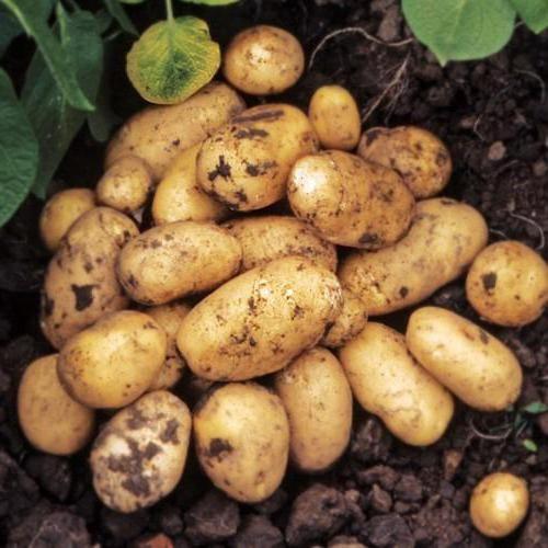 cartofi granada descriere varietate fotografie