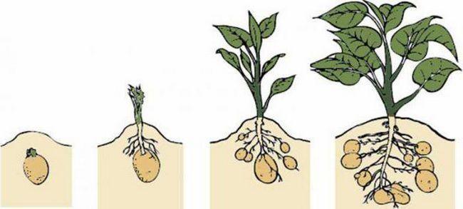 Cartofi irbitați cum să se udă