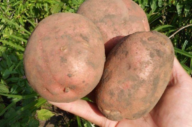 Producția de cartofi irbit